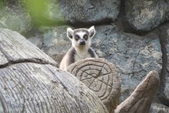 Lemur на дереве стоковое изображение
