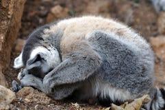 lemur сонный Стоковая Фотография RF