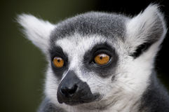 Lemur 1. Close up headshot in landscape of the endangered ring-tailed lemur Royalty Free Stock Photography