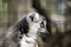 lemur Stock Afbeelding