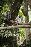 lemur image stock