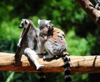 lemur Стоковое Изображение RF