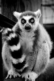 Lemur   Zdjęcie Stock