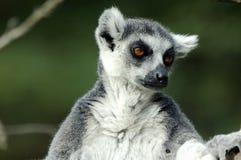 Lemur Stock Photos