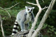 Lemur. Portrait of a  ring-tailed lemur (lemur catta) sitting on a branch Stock Image