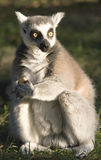 Lemur. Is holding some feed Stock Photos