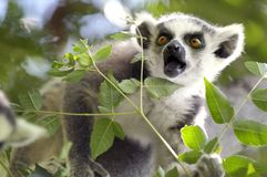 Lemur. Ringtailed Lemur with a surprised expression on his face stock photography