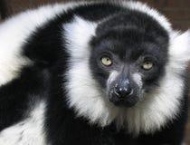 lemur стоковая фотография rf