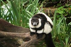 lemur Royaltyfri Bild