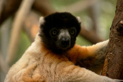 lemur Obraz Stock