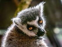 lemur photos libres de droits
