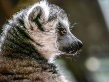 lemur photo libre de droits
