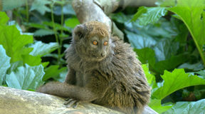 Lemur. Eastern lesser bamboo lemur monkey Royalty Free Stock Photo