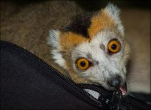 Lemur. Stockfotografie