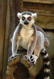 Lemur. A ring-tailed lemur in Stockholm Zoo stock image