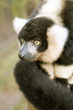 Lemur. Close up of Black & White ruffed Lemur (Varecia varigata varigata) - portrait orientation Stock Images