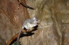 Lemur. Small funny animal on tree Royalty Free Stock Photos