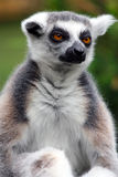 Lemur. Ring-tailed lemur portrait in zoo Stock Image