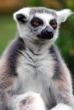 Lemur. Stock Image