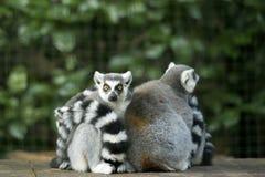 lemur Стоковое Изображение