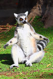 Lemur Stock Photo