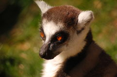 Lemur. Vista de medio cuerpo Royalty Free Stock Photos
