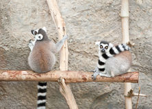 Lemur Royalty Free Stock Photo