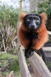 lemur Стоковые Фотографии RF