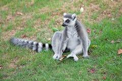 Lemur Stock Photo
