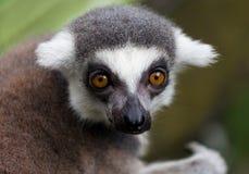 Lemur Imagenes de archivo