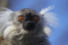 Lemur. The Ringed-tailed Lemur is endangered due to human destruction of it's natural habitat, the rainforest Royalty Free Stock Image