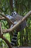 Lemur. Sitting in tree at the Nashville Zoo Stock Images