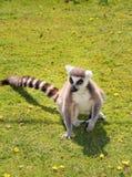 lemur 库存照片