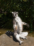 Lemur. Sitting on a stone begging for food stock image