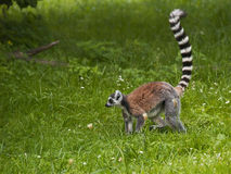 Lemur Royalty Free Stock Photos