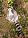 lemur Arkivbilder