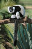 Lemur Foto de Stock Royalty Free