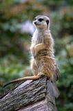 lemur Stockbild