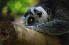lemur Imagem de Stock
