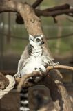 lemur Stock Foto's