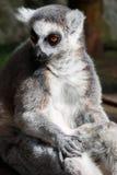 lemur foto de stock