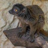 lemur Royalty-vrije Stock Fotografie