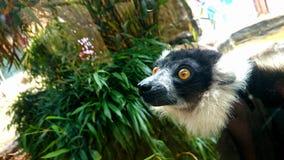 lemur Immagine Stock Libera da Diritti