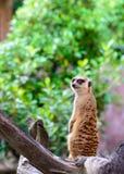 lemur Image libre de droits