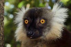 Lemur Obrazy Royalty Free