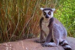 lemur Lizenzfreie Stockfotografie
