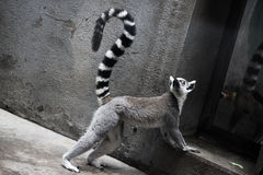 lemur Stockfotos