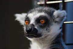 lemur Fotografia Stock Libera da Diritti