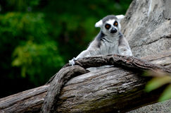 A Lemur. This is a shot of a Lemur in captivity at a Zoo Stock Photos