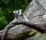 Lemur. This is a shot of a Lemur in captivity at a Zoo Stock Photography